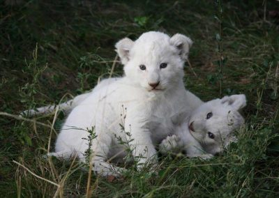 White-Lion-Cubs